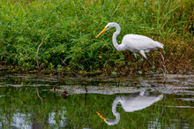Great Egret At Waters Edge With Reflection
