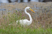 Great Egret In Tall Grass