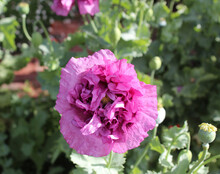 Papaver Orientale (Oriental Poppy) Order Ranunculales, Family: Papaveraceae, Genus. Papaver, A Perennial Flowering Plant With Double Ruffled Mauve Petals And Fine Black Seeds In A Green Capsule.
