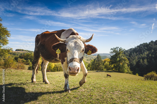 Photo cow in the field