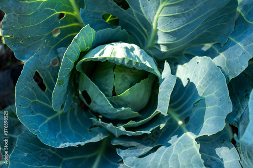 Foto Raw fresh green cabbage texture and background, top view over dark background