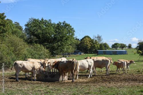 agriculture elevage lait viande vache bovin Wallpaper Mural