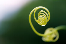 Spiral Chain Of Green Curly Twig