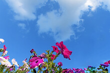 Bottom View Of Garden Flowers Against A Blue Sky With White Clouds