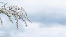 Manuka Flower From Which The H...
