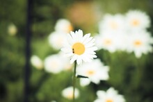 Daisies In A Garden With Bee O...
