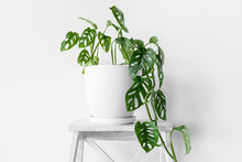 Beautiful Plant Monstera Monkey Mask In A White Pot Stands On A White Pedestal On A White Background. Houseplant Monstera Obliqua On A White Background With Hard Shadows.