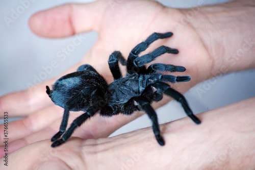 Grammostola pulchra tarantula crawls on the hand Wallpaper Mural