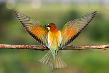 Bird Of Paradise Spread Its Wings Wide