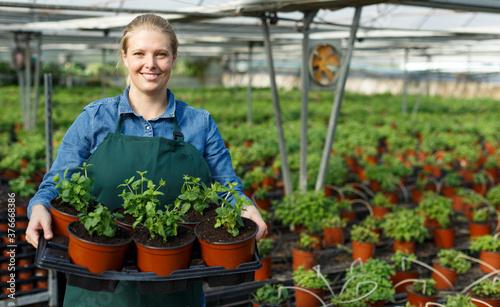 Fotografie, Obraz Portrait of confident female farmer working with mint in modern greenhouse
