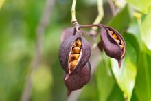 Kuurajong Tropical Plant. Seedpod Opened To Reveal The Seed