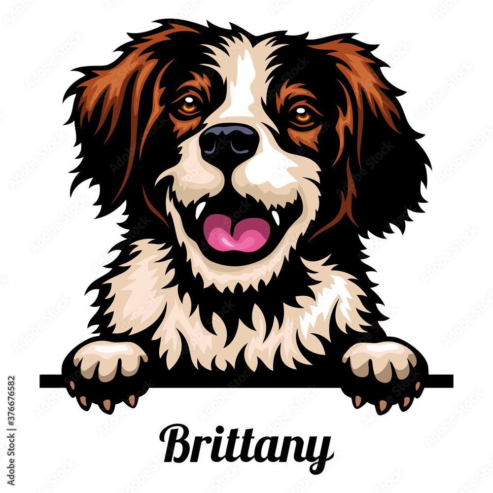 Fototapeta Head Brittany - dog breed. Color image of a dogs head isolated on a white background