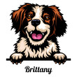 Head Brittany - dog breed. Color image of a dogs head isolated on a white background