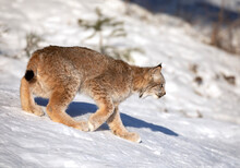 Canada Lynx Kitten (Lynx Canadensis) Walking In The Winter Snow In Montana, USA