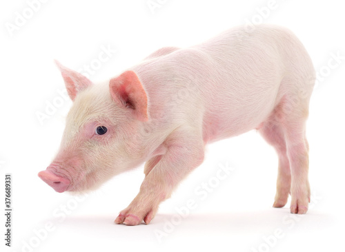 Pig on white Canvas