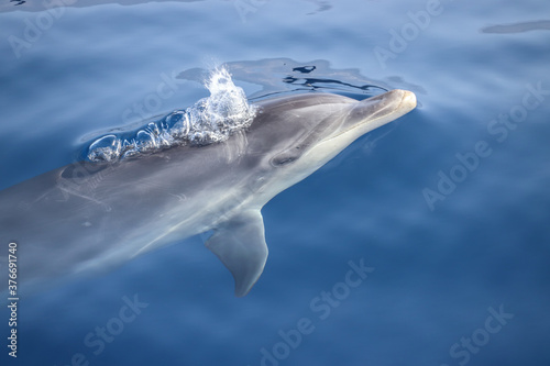Fotografija Bottlenose dolphin (Tursiops truncatus)