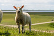 Leinwanddruck Bild - sheep resting and grazing grass on the dike at the north sea in germany