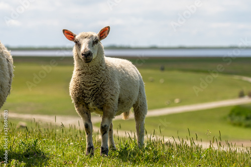 sheep resting and grazing grass on the dike at the north sea in germany Fototapete
