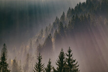 Sun-rays Through Misty Pine Fo...