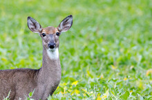Close-up Of An Alert White-tailed Doe In A Soybean Field During Late Summer, Selective Focus, Background And Foreground Blur, Space For Writing