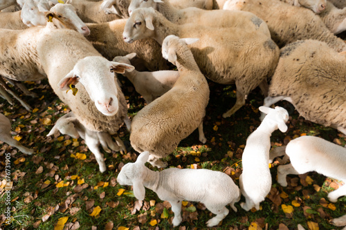 sheep and lambs in a fence during autumn Wallpaper Mural