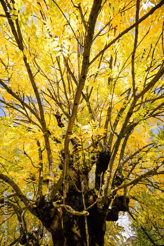Платно Low angle shooting of an ash tree top in autumn