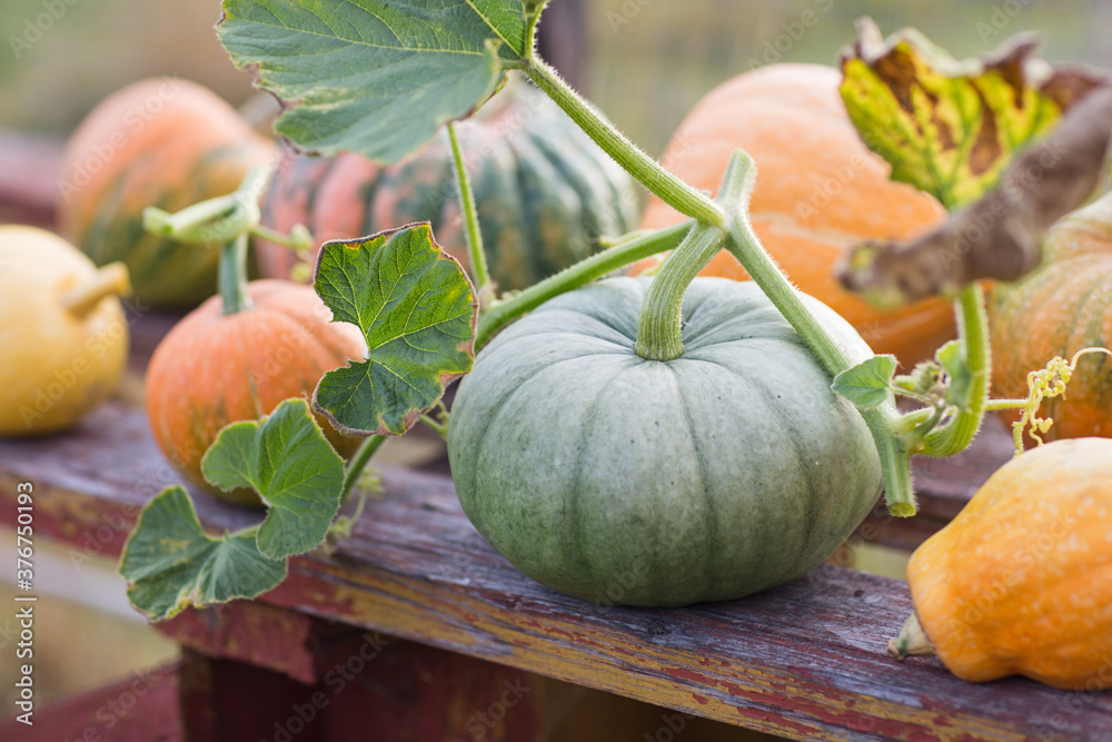 Fototapeta green and orange pumpkins in garden or on fair. autumn harvest time. natural fall background.