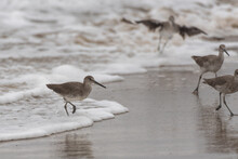 Instincts Take Over For Marine Willet Birds All Retreating From The Tidal Surge Of Foamy Water On The Wet Sand.