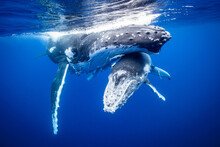 Humpback Whale With Calf Swimming Underwater