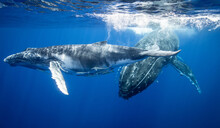 Humpback Whales Swimming Under...