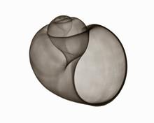 X-ray Image Of Florida Apple Shell