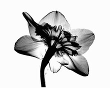 X-ray Image Of Daffodil Flower