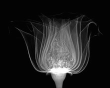 Inverted Image Of Rose