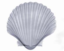 X-ray Image Of Scallop Seashell
