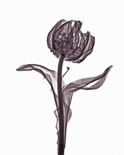 X-ray Image Of Parrot Tulip Fl...
