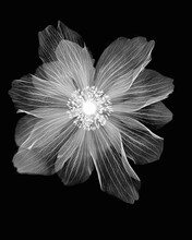 Inverted Image Of Ranunculus Flower