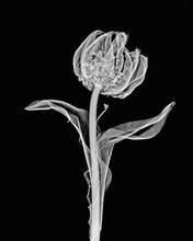 Inverted Image Of Parrot Tulip Flower