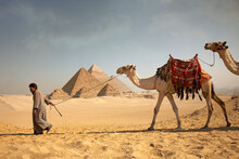 Man Pulling Camels In Front Of...