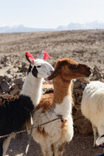 Three Tethered Llamas, Salinas And Aguada Blanca National Reservation, Arequipa, Peru