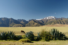 Donkey Grazing In Field, Maras, Sacred Valley, Peru, South America
