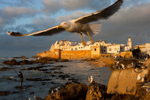 Historic Port At Sunset With Flock Of Seagulls, Essauira, Morocco