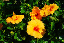 Yellow, Orange And Red Hibiscus Flower In Bloom