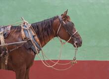 Harnessed Horse,Trinidad Sanct...