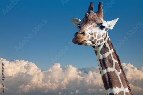 Fototapeta giraffe head above pure white clouds