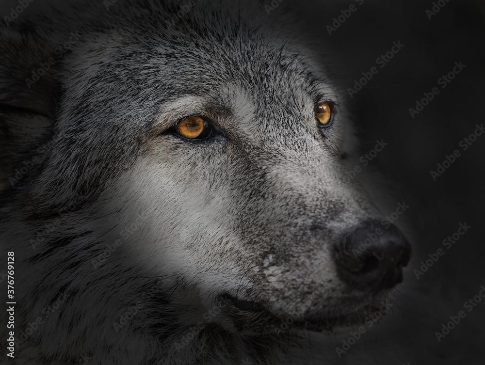 Fototapeta dark wolf close up