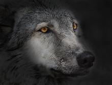 Dark Wolf Close Up