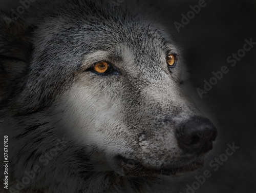 Fotografia dark wolf close up