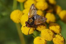 Tachinid Fly, Phasia Aurigera, Family Tachinidae On Flowers Of Common Tansy (Tanacetum Vulgare), Family Asteraceae. Slovenia, September