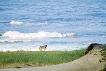 Wild Gray Wolf Walking On Beach
