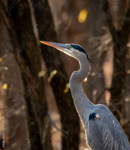 Great Blue Heron (Ardea herodias) on a lakeshoreat sunset Wallpaper Mural